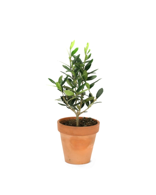 Real baby Olive tree